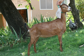 Goat World