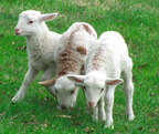 2012 Lambs and Kids