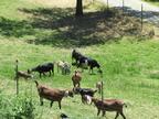 Goats on a hillside.